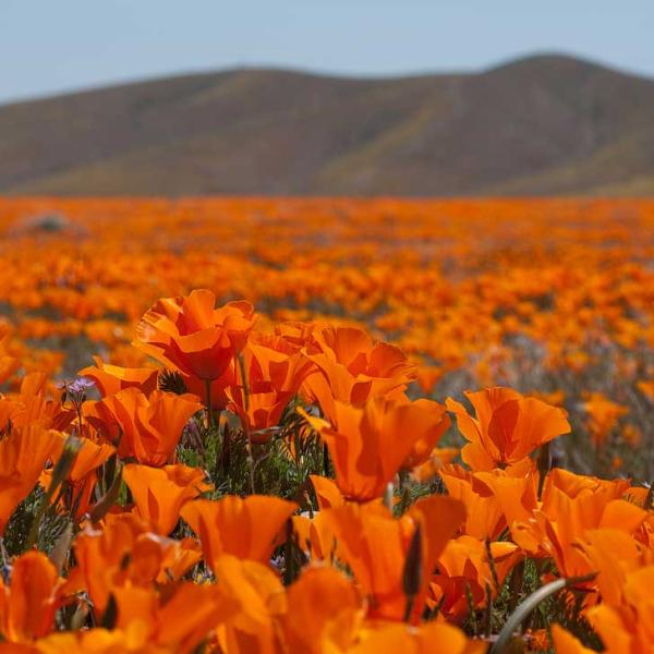 Antelope-valley-california-poppy-reserve