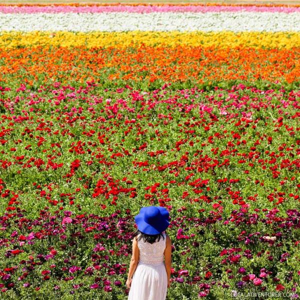 Carlsbad-flower-fields-southern-california
